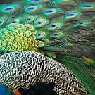Plumage by randmphotos