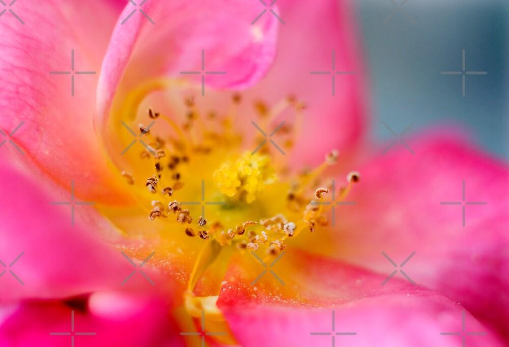 Open Pink Rose by Geoff Carpenter