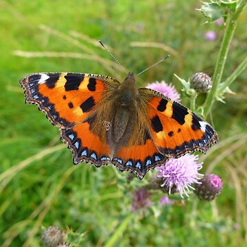 Small tortoiseshell butterfly on thistle flowers by AnnaMyerscough