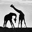 Necking Giraffes by Richard Garvey-Williams