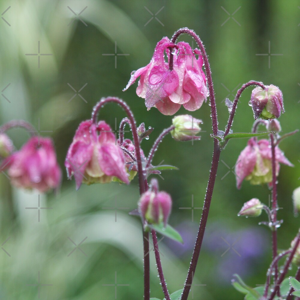 Pink aquilegia after the rain. by Sandra O'Connor