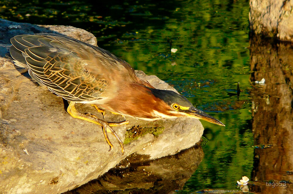 green heron ready to strike by tego53