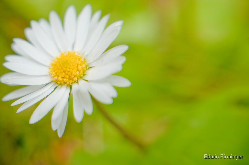 Little Daisy by Edwin Firminger