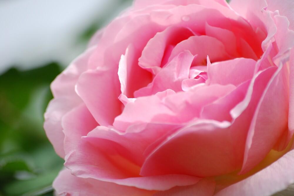 Rose by alex78230