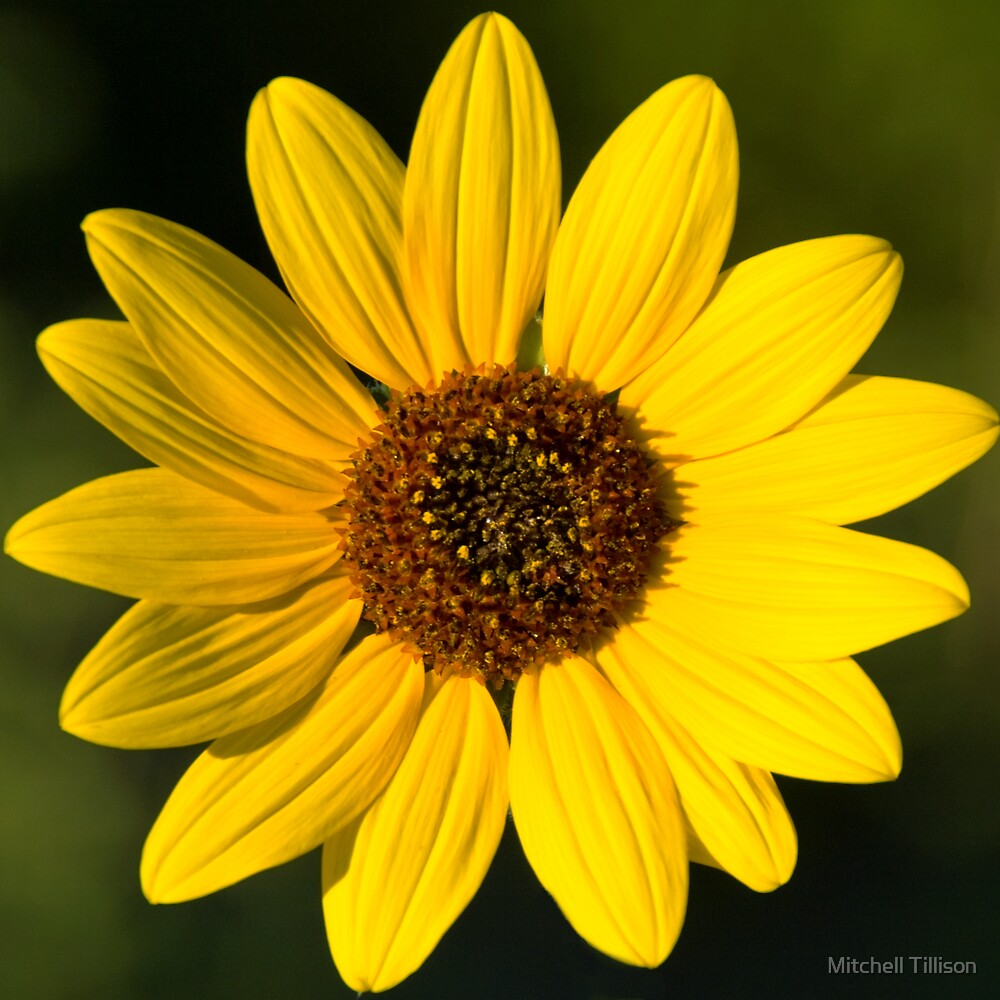 Little Miss Sunflower by Mitchell Tillison
