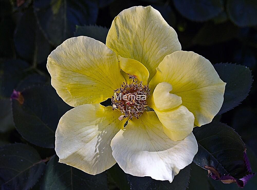 Neneng's Rose by Memaa