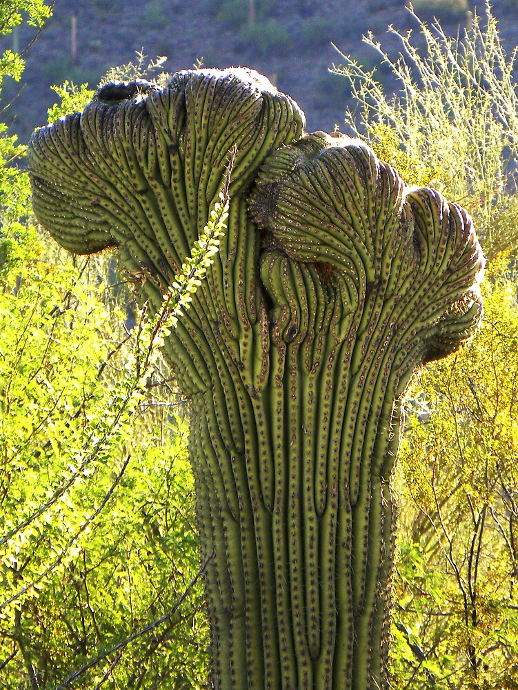 Crested Saguaro by gcampbell