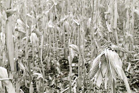 Corn by krbraate