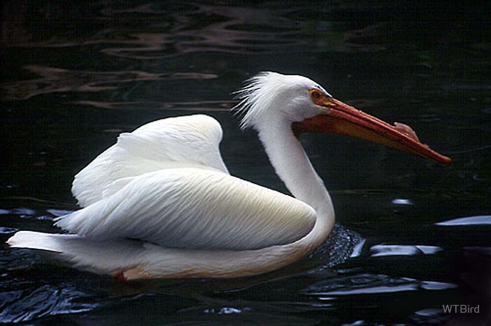 White Pelican by WTBird