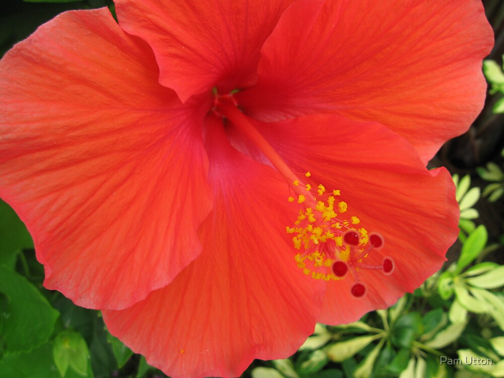 hibiscus by Pam Utton