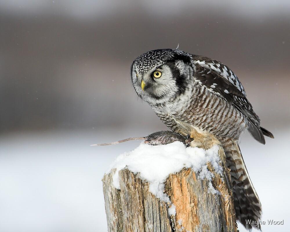 Northern Hawk Owl by Wayne Wood