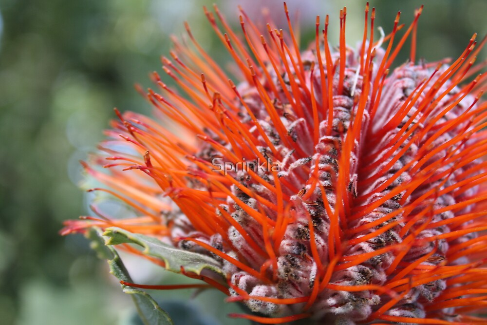 Banksia Coccinea by Sprinkla