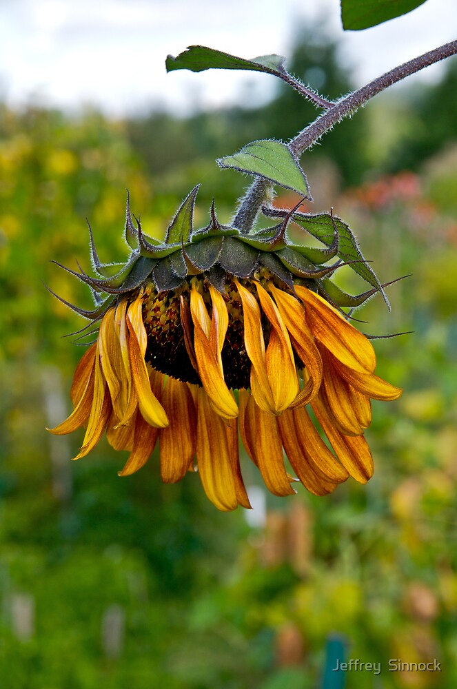 old sunflower by Jeffrey  Sinnock
