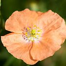 Shirley Poppy 2018-17 by Thomas Young
