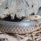Australian Copperhead Snake, Queensland, Australia  by Adrian Paul