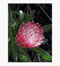 Protea Mellifera Photographic Print