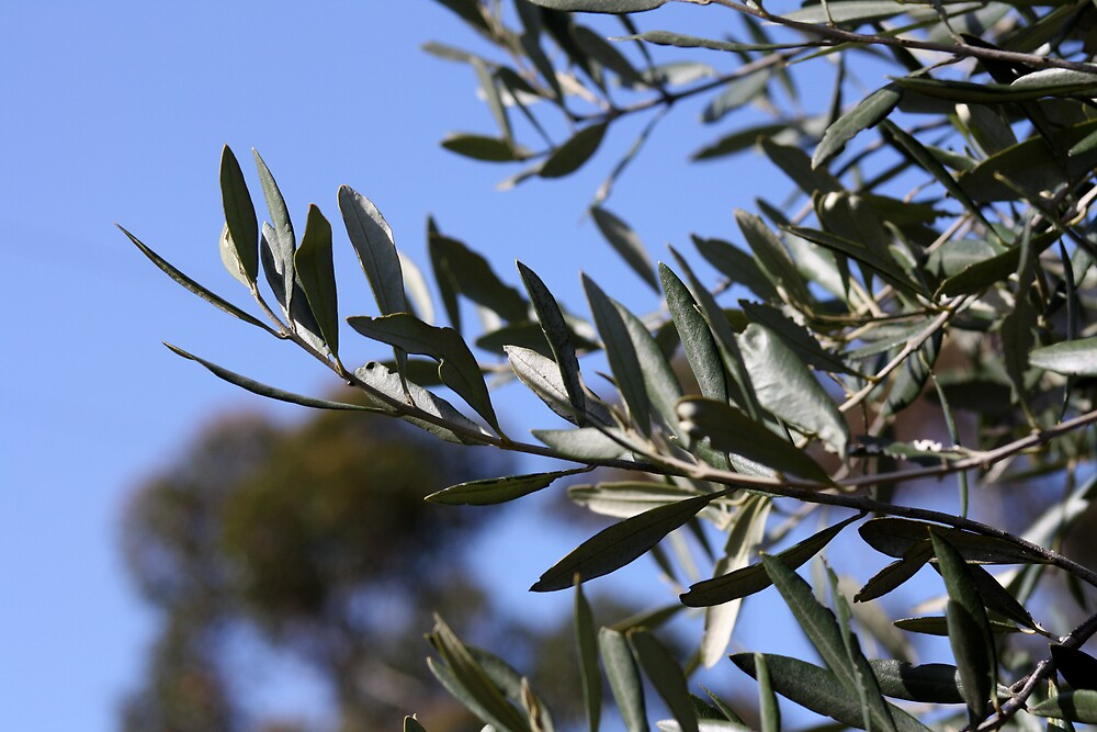 Olive grove by Fulguration
