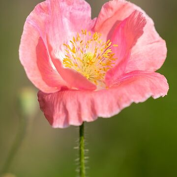 Shirley Poppy 2018-18 by Thomasyoung