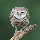 Burrowing Owl by mlorenz