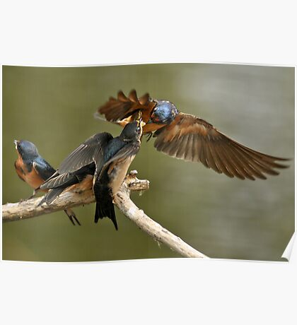 Feeding Swallows Poster
