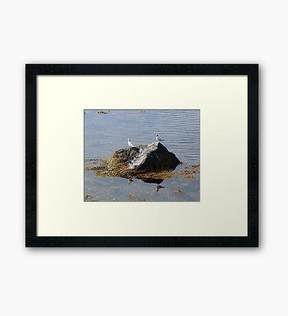 Gulls On A Rock Framed Print