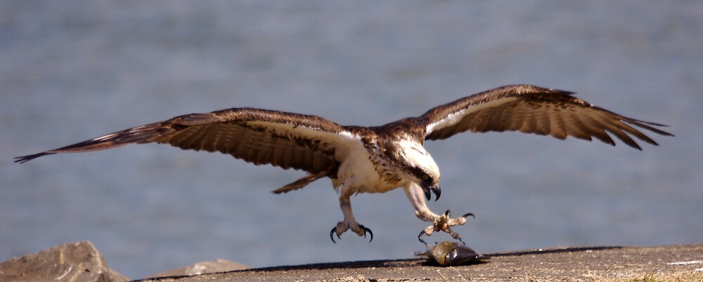 Osprey by DUNCAN DAVIE