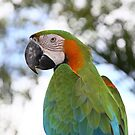 Harlequin Macaw Portrait by Carole-Anne