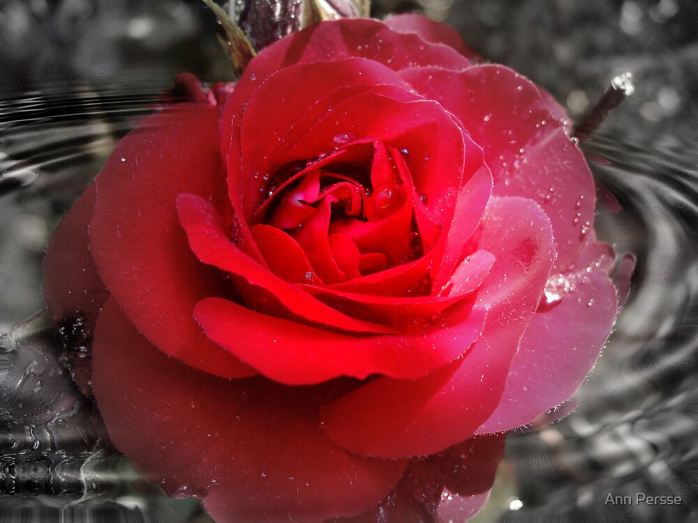 swirling rose  by Ann Persse