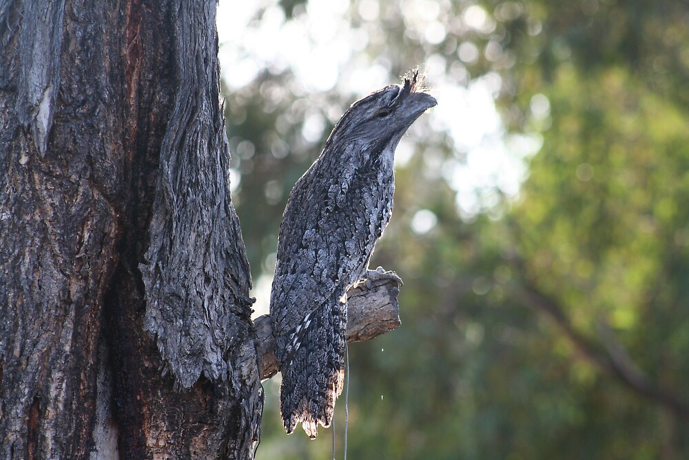 tawny frog mouth by columboola