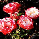 Roses from Rosenholm by jchanders