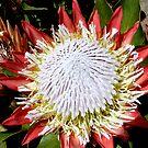 King Protea by Sprinkla