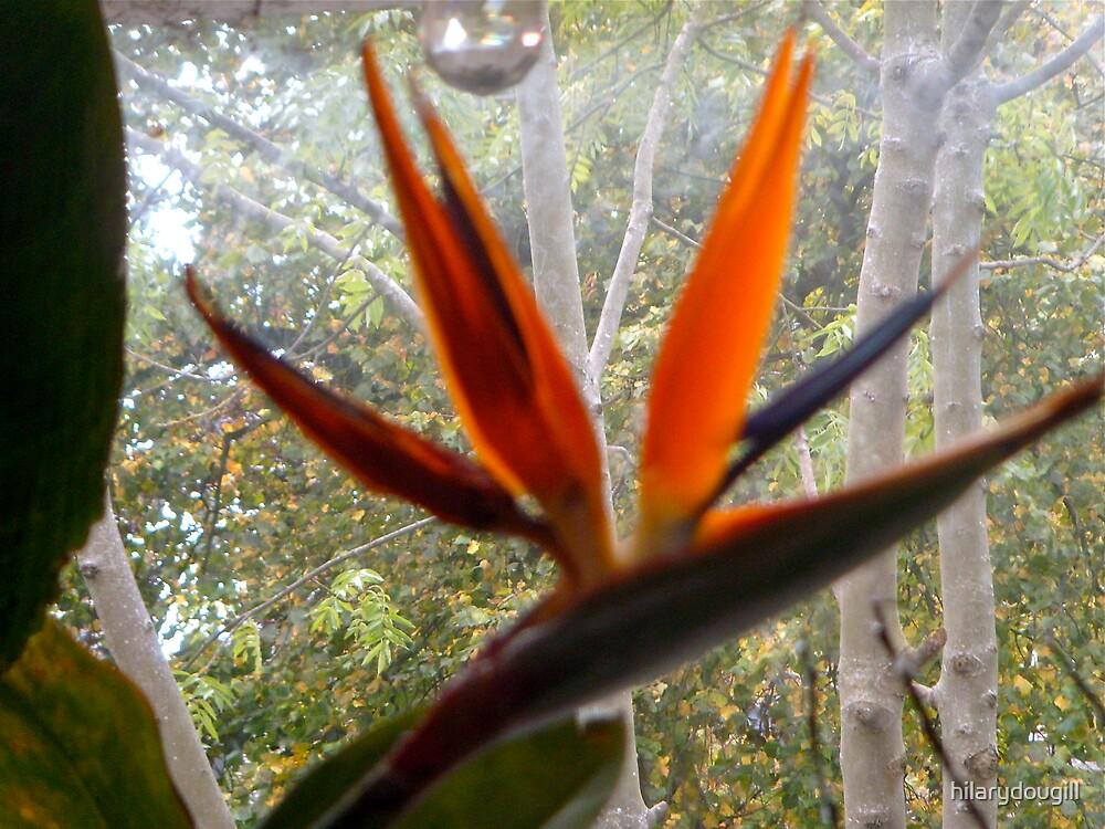 Bird of Paradise flower by hilarydougill