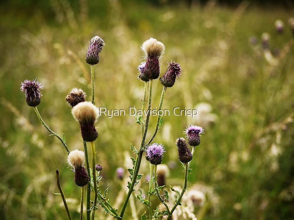 Tweed Thistles by Ryan Davison Crisp