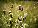 Tweed Thistles by Ryan Davison Crisp
