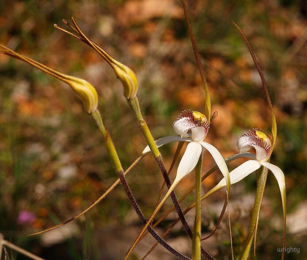 White spider orchids by wrighty