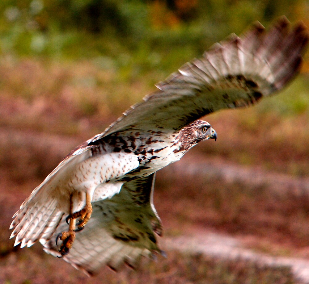 Juvenile Red-tailed Hawk (Special Effects) by DigitallyStill