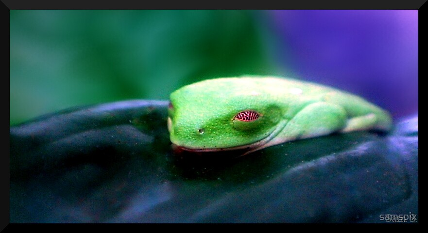 Sleepy Tree Frog by samspix