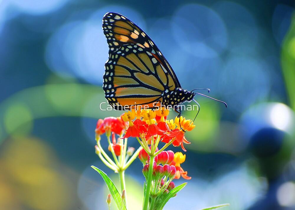 Monarch Butterfly on Scarlet Milkweed by Catherine Sherman