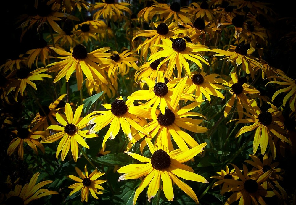 Black Eyed Susan in the spotlight by Yanira Greener