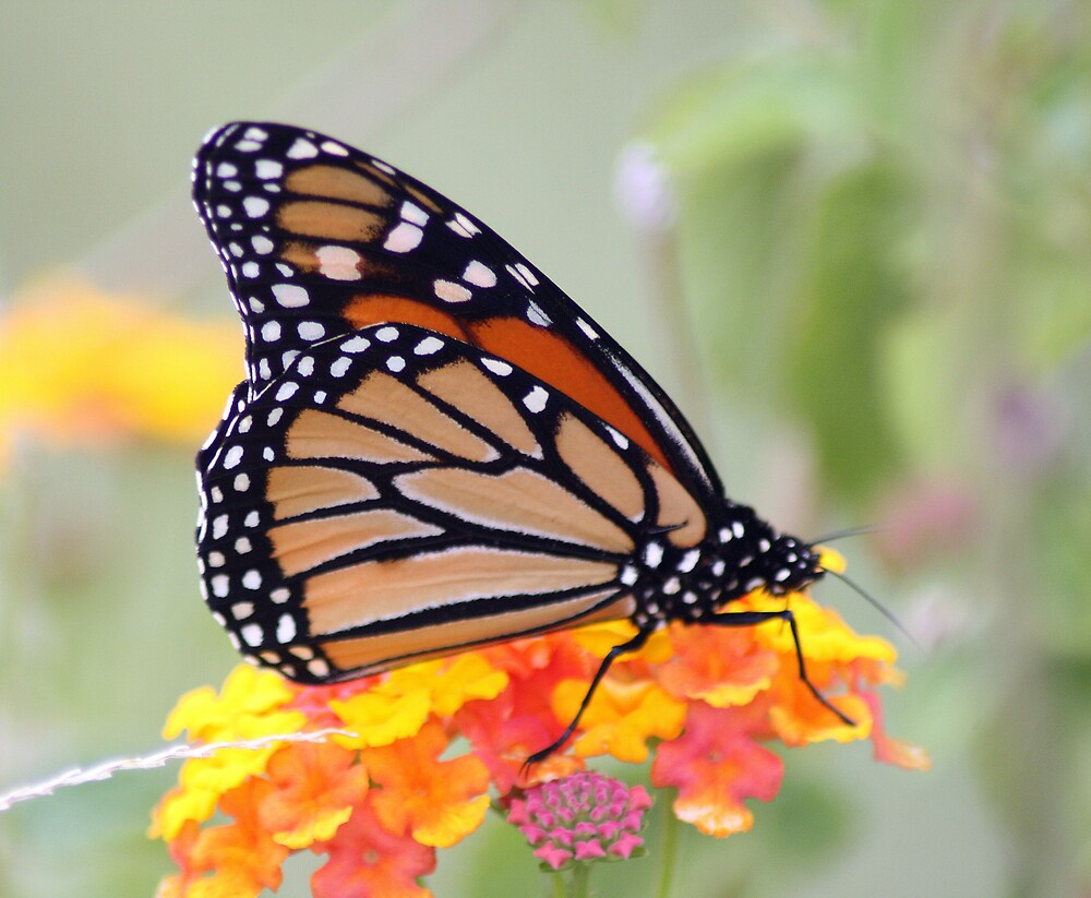 AS LONG AS THERE IS LANTANA...... by rasnidreamer