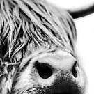 Highland Cow close up in black and white by Alex Sharp
