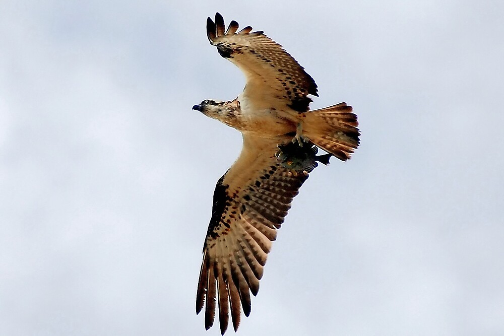 osprey with dinner for the chicks by bobbyverrills