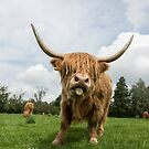 Highland Cow standing in field by Alex Sharp