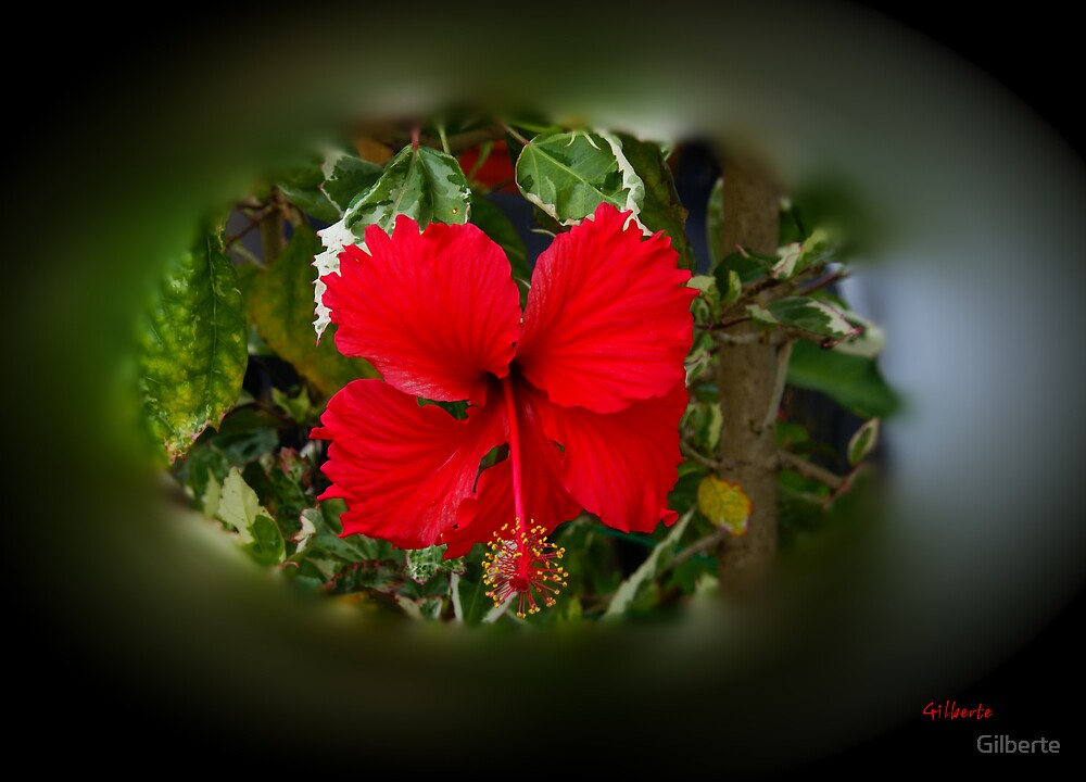 Hibiscus Sinensis by Gilberte