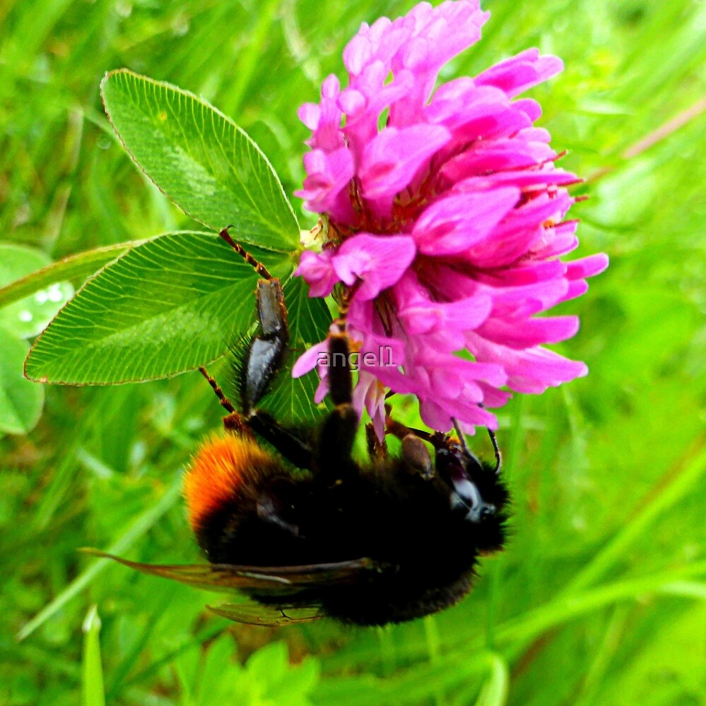 Bumblebee on red clover by ©The Creative  Minds