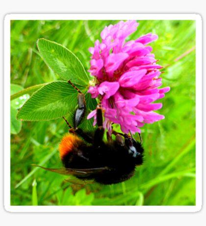 Bumblebee on red clover Sticker