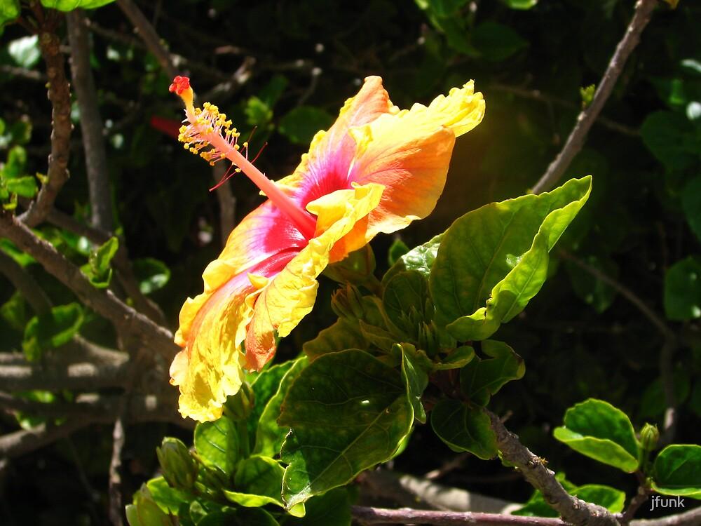 Hibiscus by jfunk