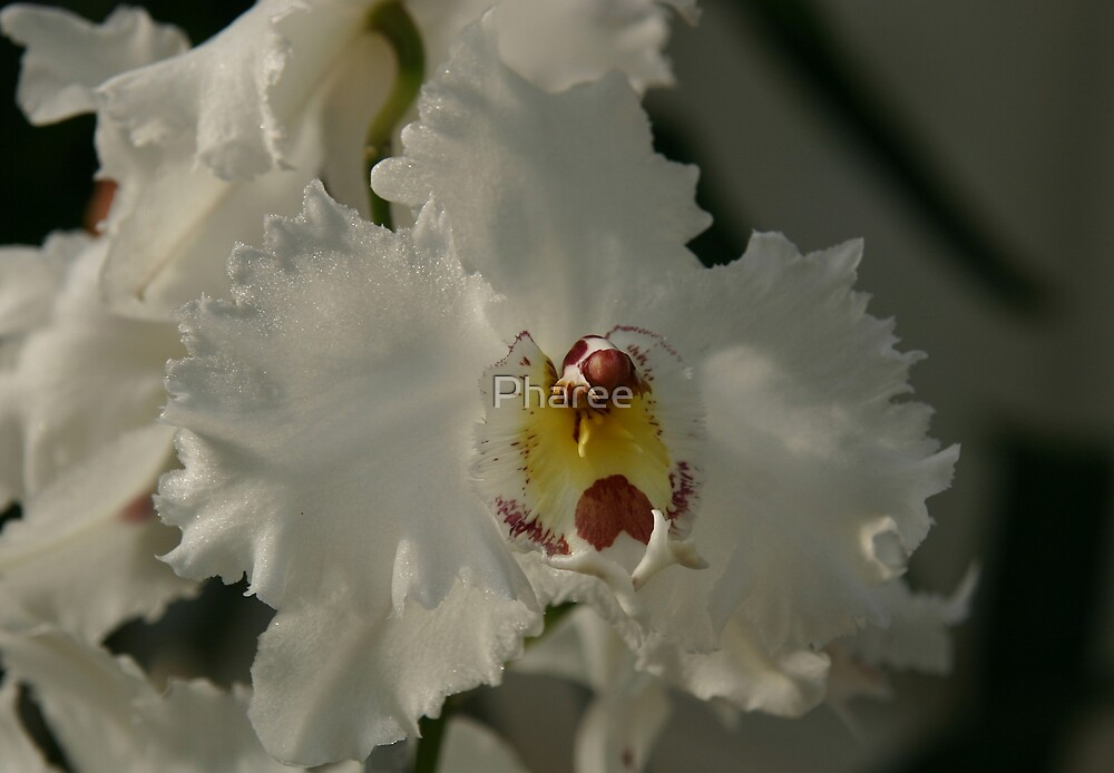 White Orchid by Pharee