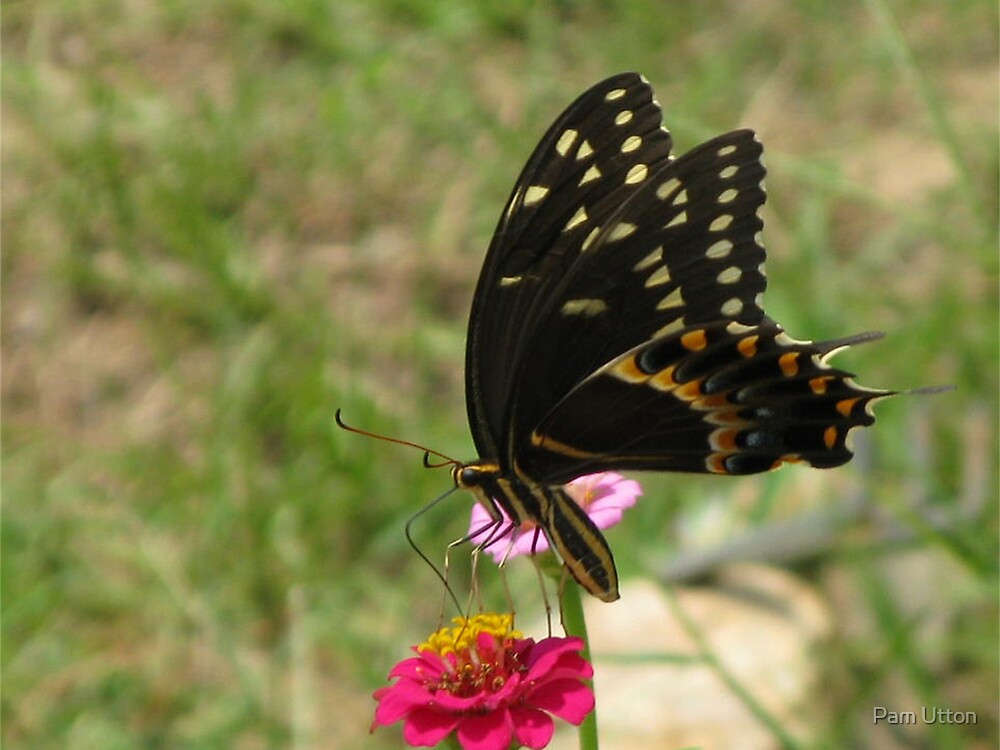 Swallowtail butterfly by Pam Utton