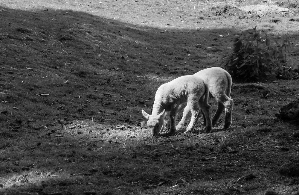 The lambs at Maplewood Farm 1 by Gabriele Maurus